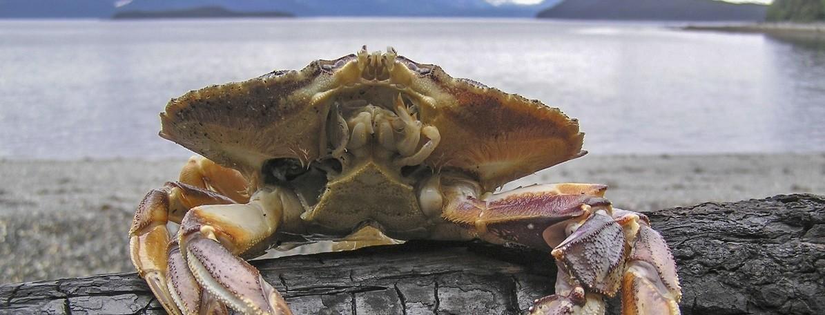 El océano Pacífico es tan ácido que está disolviendo los caparazones de los cangrejos