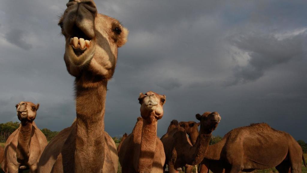 Matan a 5.000 camellos sedientos para que no se tomen el agua en la árida Australia
