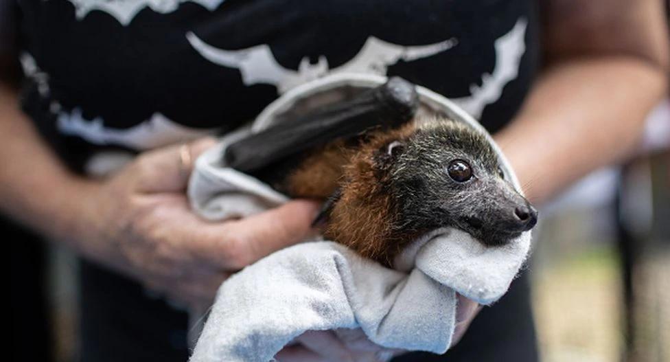 Los murciélagos no tienen la culpa del coronavirus, sino esta especie